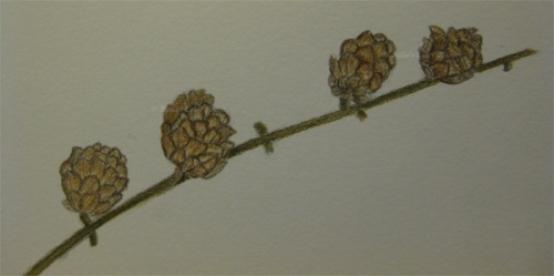 Larch cone sketch, in Derwent Inktense pencils