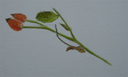 Rose Hips in Derwent Inktense pencils
