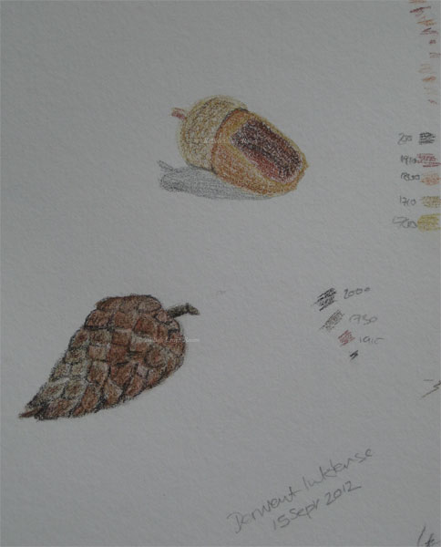 Acorn & Cone sketch, in Derwent Inktense pencils
