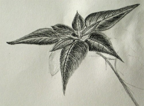 Poinsettia sketch on graphite pencil.