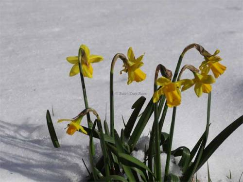 Daffs in the snow, 12th March 2013