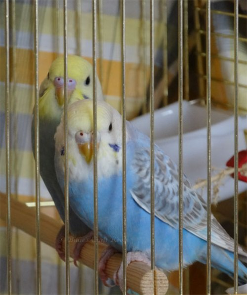 Sunshine (at the back) and Charlie (at the front) Rainbow budgies.